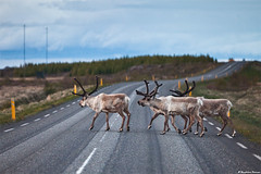 The Reindeer Route (skarpi - www.skarpi.is) Tags: road wild reindeer island iceland highway wildlife postcard hunting east deer route wilderness sland snfell egilsstair dr wintertrip austurland hallormsstaur austfirir vegur pstkort easticeland hreindr hreindraland