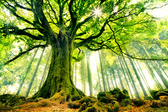 Ponthus' Beech (Christophe Kiciak) Tags: old france tree fairytale forest arthur woods bretagne legendary merlin knight chevalier legend arbre hdr beech myth fort venerable lgende broceliande htre mythe ponthus