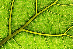 Leaf closeup (Ben_Cooper) Tags: nature leaf patterns backlit backlighting patternsinnature