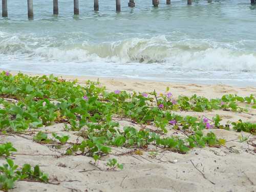 Pantai Kerachut - beach morning glory
