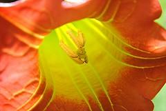 Scarlet Datura's golden throat glows in the morning sun (jungle mama) Tags: datura excellence solanaceae naturesfinest sanfranciscobotanicalgarden coth brugmansiasanguinea supershot anawesomeshot flickrdiamond 10nw natureselegantshots redangelstrumpet daturalily magicunicornverybest blinkagain photocontesttnc11 5wonderwall bestofblinkwinner bestofblinkwinners scarletdatura redfloripontio