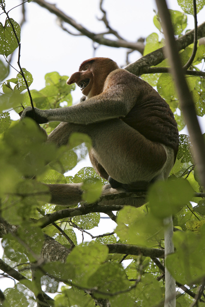 Proboscis Monkey: Borneo's most Amazing Citizen with long Nose.