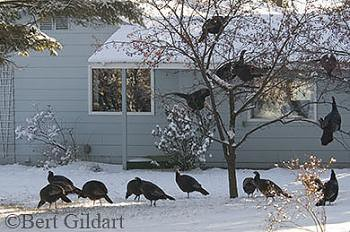 Turkeys & our neighbors yard