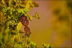 ... en pijama (Salvador Ruiz Gómez) Tags: españa insectos valencia fauna spain nikon escarabajo insecto comunidadvalenciana escarabajos