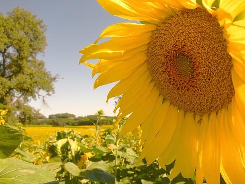 Sunflower field by Danalynn C