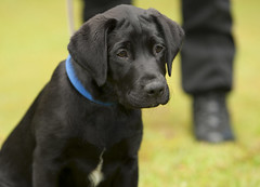 Introducing Jack (Greater Manchester Police) Tags: dog training puppy manchester lab labrador police retriever explore pup gmp k9 policedog snifferdog britishpolice explored searchdog ukpolice greatermanchesterpolice unitedkingdompolice