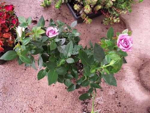 Pretty Spring lavender roses