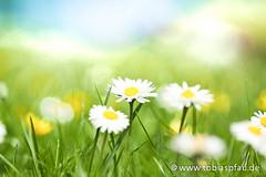 Daisies - Spring Flower (Tobias Pfau) Tags: sommer pflanze feld wiese himmel gras grn blau blume blte landschaft sonne farbe frhling idylle gnseblmchen weis wachstum niemand ebenen korbbltler viehweide leuchtendefarbe geringetiefenschrfe hahnenfus ruhigeszene natrlicheschnheit fokusaufdenvordergrund