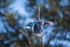 Whitefish Point, MI (Andreane Fraser) Tags: nature animals mi canon spring michigan wildlife flight bluejay vol migration upperpeninsula printemps whitefishpoint canon100400mmf4556 enpleinvol 5dmarkii jaiebleu