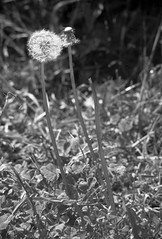 Analog Dandelion (Skley) Tags: white black film analog germany deutschland photography photo foto fotografie creative picture commons dandelion cc creativecommons bild schwarz licence berlinwedding kreativ pusteblume weis adox lizenz adoxchs100 aph09 sprengelkiez skley dennisskley