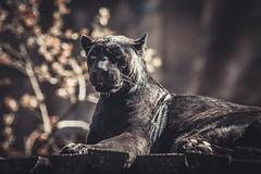Black panther (MiuMiuKitty) Tags: wild cats cat bigcat panther bigcats blackpanther кошка кошки wildnature леопард пантера большиекошки ilobsterit чернаяпантера