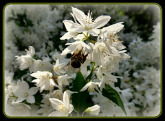 im Bltenrausch (karin_b1966) Tags: flower nature insect bush natur blossoms bee jasmin blume insekt strauch biene blten 2014 palmengartenfrankfurtammain botanicalgardenfrankfurtammain