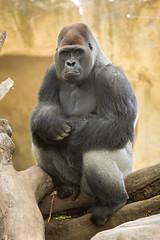 2014-05-06-13h09m50.BL7R7137 (A.J. Haverkamp) Tags: barcelona zoo spain gorilla spanje dierentuin westelijkelaaglandgorilla xebo canonef100400mmf4556lisusmlens pobrotterdamthenetherlands dob06101985 httpwwwzoobarcelonacat