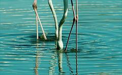 BENE  EN  SIRKELS (louisemcduling) Tags: pink blue white nature water neck southafrica photography nikon fotografie legs head circles flamingo natuur capetown wit kop refelctions bene kaapstad nek sirkels blou suidafrika pienk weerkaatsing flamink simplyagoodphoto