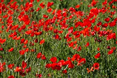Coquelicots - Poppies (Kaya.paca) Tags: coquelicots poppies couleurs green red champ nature paysage matin soleil printemps alpesdehautesprovence france spring rouge vert colors morning sun landscape field fleurs flowers