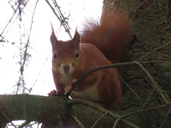 Squirrel (Linda De Hon) Tags: red squirrel mammal schwbischealb