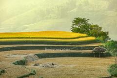 G0648.1011.Thành Công.Nguyên Bình.Cao Bằng (hoanglongphoto) Tags: asia asian vietnam northvietnam northeastvietnam outdoor morning sunlight sunny sunnymorning teraces teracedfields landscape vietnamlandscape scenery vietnamscenery terracedfieldsinvietnam terracedscene harvest hill hillside canon canoneos5dmarkii canonef70200mmf28lisiiusmlens đôngbắc caobằng nguyênbình thànhcông phongcảnh ruộngbậcthang lúachín mùagặt đồi ngọnđồi sườnđồi buổisáng nắng nắngsớm nắngbuổisáng wow