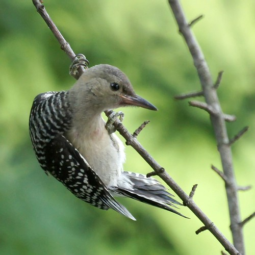 Baby Red Bellied Woodpecker