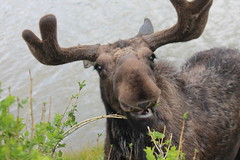 Moose visitor, Jackson, Wyoming (rosinberg) Tags: west cute animal nationalpark moose jackson wyoming jacksonhole bullwinkle wildliferefuge bullmoose birdrefuge elkrefuge