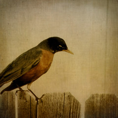 searching (moosebite) Tags: wood brown bird texture nature fence nikon artistic background textures backgrounds squared moosebite jrgoodwin