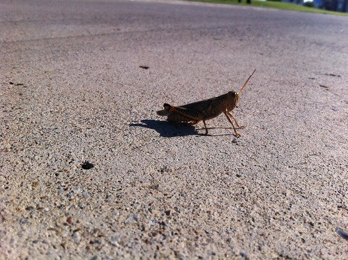 This is a grasshopper