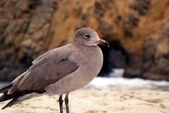 California (Sautterry) Tags: california gull bigsur pacificocean pfeifferbeach