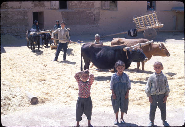 Threshing wheat in Gökpinar, Turkey December 1966. Image by Jacques Bordaz. Penn Museum image #174981