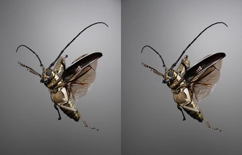 Batocera lineolata, stereo parallel view