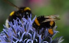 tui 020711 051 g (Klukkert) Tags: macro bumblebee hommel globethistle kogeldistel nikkor105mmf28gvrmicro echinopssphaerocephalus nikond7000
