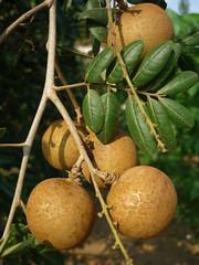 Lá và trái nhãn Xuồng  Dimocarpus longan  thuộc họ Bồ Hòn  Sapindaceae