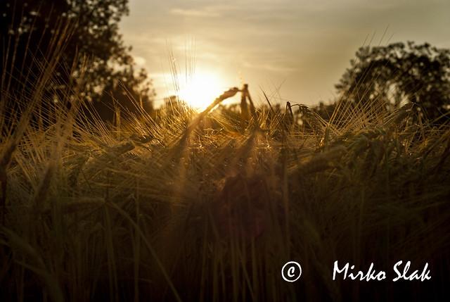 wheat 6