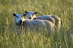sheep in evening light (patrick.gysen slowly waking up) Tags: delete10 delete9 delete5 delete2 delete6 delete7 save3 delete8 delete3 delete delete4 save save2 save4