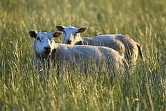 sheep in evening light (patrick.gysen slowly waking up) Tags: delete10 delete9 delete5 delete2 delete6 delete7 save3 delete8 delete3 delete delete4 save save2 save4