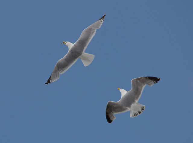 herring gulls chasing in flight