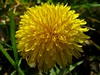 dandelion (Stefano Rugolo) Tags: dandelion marche year yellow walk view verde spring soft shadows powershot pov photography perspective nero natureselegantshots nature morning mood minimalism macro light italy green gimp garden front framing focus flower fleursetpaysages fiore details countryside contrast composition colors comments colorful canon camera bokeh black a480 angle ambience fabriano
