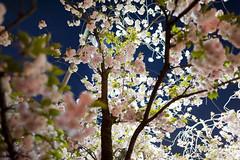 Osaka Mint - Through the Night Cherry Blossom #3 - D3s & Nikkor 24mm f/1.4G (TORO*) Tags: light blur up japan night cherry ed nikon blossom bokeh mint osaka through 24mm nikkor afs f14g d3s