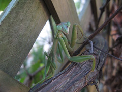 Praying Mantis (dogwooddude) Tags: insectsandspiders