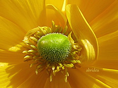 The heart of a Ranunculus (abrideu away on Holiday) Tags: macro yellow canon ngc ranunculus raynoxdcr250 macromarvels abrideu fleursetpaysages mygearandme mygearandmepremium mygearandmebronze