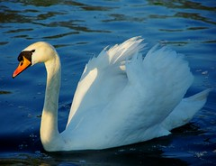 swan (patiigraphy) Tags: wild bird nature water animal swimming swim swan pentax poland polska wriggler raszyn falenty pentaxk5 freedomtosoarlevel1birdphotosonly