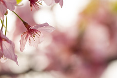 Full bloom softly (Takashi(aes256)) Tags: spring blossom  cherryblossom  sakura   showakinenpark   kanzakura  canoneos7d  canonef100mmf28lmacroisusm