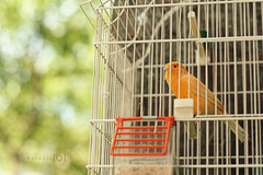 """Po Po """"Rollitoas"""" (16/52, Animales) (Natalitxu) Tags: bird animal jaula bokeh canario pjaro"""
