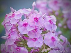 Oh Deer!!! (Shannonsong) Tags: macro nature garden flora blossom lavender bloom phlox flowersandplants