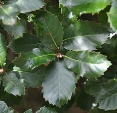Quercus ilex L., Leccia, NGID1671005308 (naturgucker.de) Tags: quercusilex steineiche naturguckerde crolftheodorborlinghaus 180205378 647909206 ngid1671005308 1616771420
