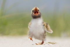 Let's romp! (Lisa Franceski) Tags: ocean beach nature sand wildlife babybird seabird naturalhabitat commontern sternahirundo physis flickraward commonternchick sigma120400mm canont2i onlythebestofnature lisafranceski flickrsfinestimages1 flickrsfinestimages2 flickrsfinestimages3 photoofthedaynwf12