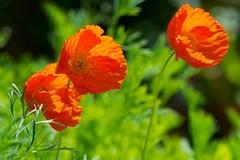 Three Dancing in the Wind (picaddict) Tags: garden poppy garten mohn islandmohn papavernudicaule windig