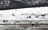 VALSAIN (SEGOVIA)  14-1-2013 280 (Jose Javier Martin Espartosa) Tags: horse caballos spain segovia valsain castillayleon