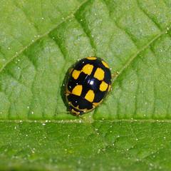 Ankurtriinu.  Propylea quatuordecimpunctata. (Jaan Keinaste) Tags: fauna bug insect estonia pentax ladybird eesti k7 propyleaquatuordecimpunctata putukas fourteenspotladybird elusloodus pentaxk7 14spottedladybird ankurtriinu