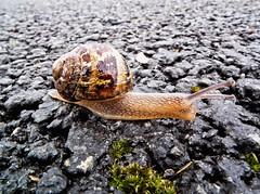 Trail maker (tootdood) Tags: tarmac manchester shell snail trail slime maker blazer fujix10 newislingtonmarina