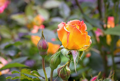 Here is a sing song of all the things you make me think of… (12bluros) Tags: flowers roses flores macro floral colors leaves rose closeup garden petals flora buds thorns rosegarden rosebuds mimamorflowers rosesforeveryone redtippedpeachrose