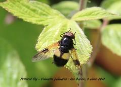 Pellucid Fly - Volucella pellucens_tagged